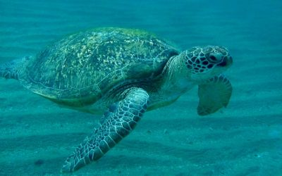 Swimming With the Flow of a Sea Turtle